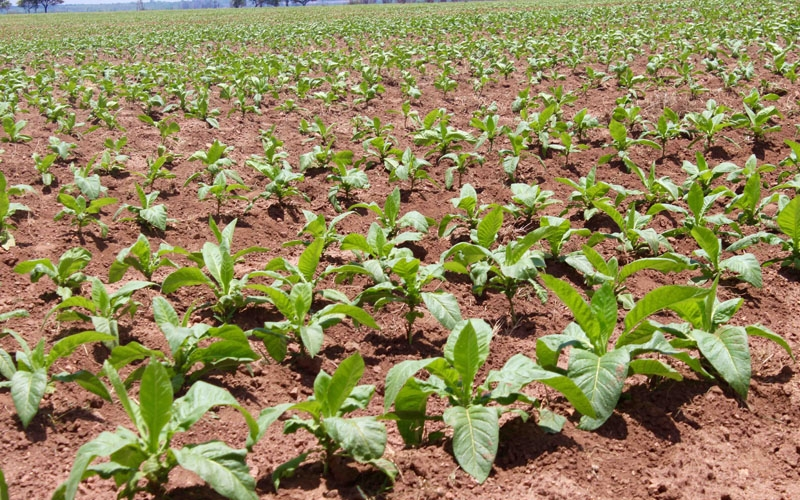 Tobacco Field